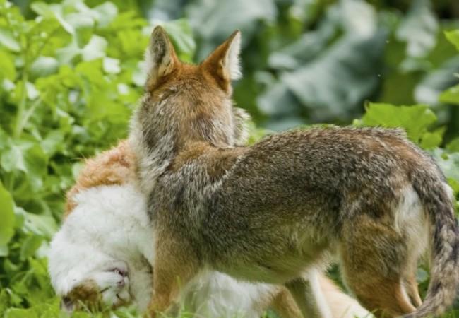 The Urban Coyote: a Songbird's Best Friend