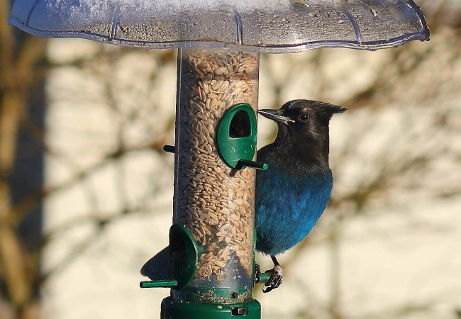 Killing Steller's Jays for…What, Exactly?