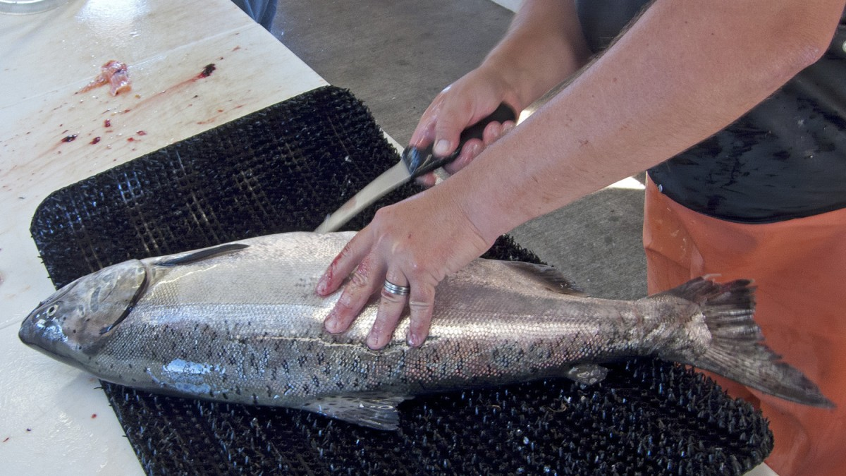 Filleting Chinook 1