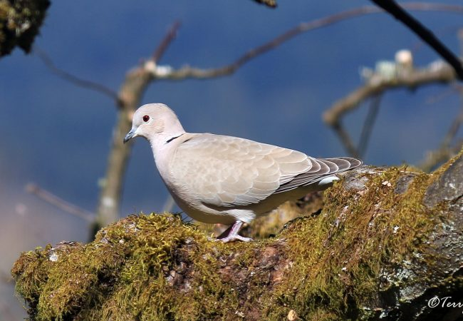 The Eurasian Collared-Dove: Successful BC Immigrants