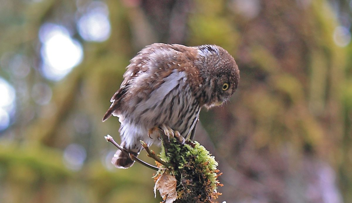 Northern Pygmy Owl Seymour River BC