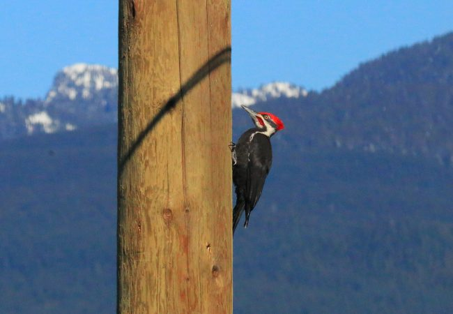 The Flashy Pileated Woodpecker