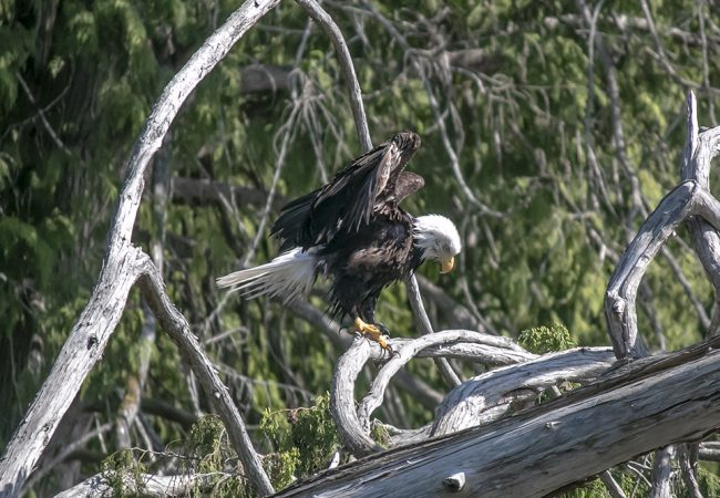 A Bald Eagle at Lily Lake